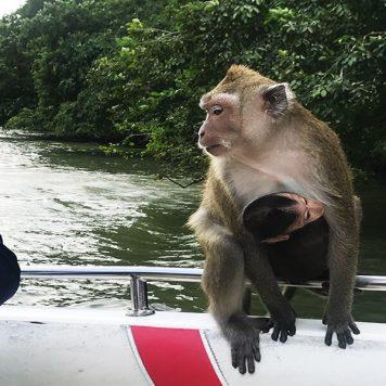 Mauritius-monkey-Clara Travels